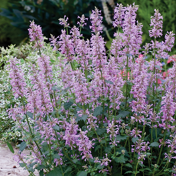 Agastache Rose Mint Seeds from Mr Fothergill39s Seeds and