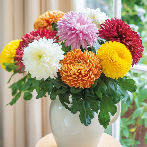 「chrysanthemum flower」の画像検索結果