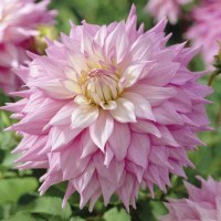 Dahlia Dinner Plate Tuber Collection from Mr Fothergill's