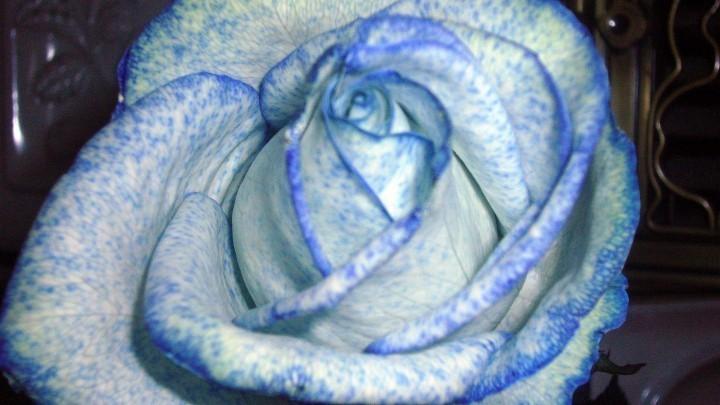 Weie Blumen blau frben mit Tintenwasser  Frag Mutti