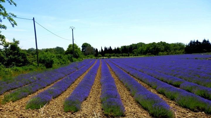 Lavendel eine Pflanze fr viele Gelegenheiten  Frag Mutti