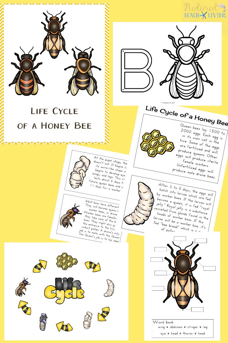 medium resolution of How to Make a Mason Bee Habitat - Perfect Life Cycle of a Bee Activities -  Natural Beach Living