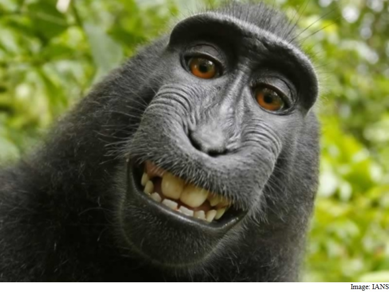 'Selfie Monkey' Might Yet Get Copyright for Photo It Clicked