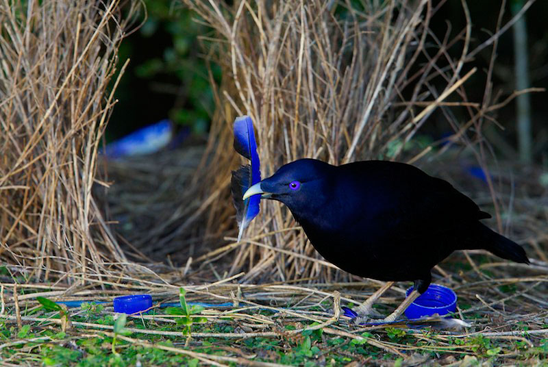 Image result for bowerbird blue