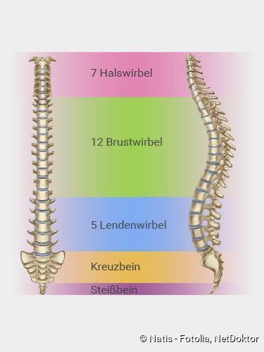 spinal segmentler