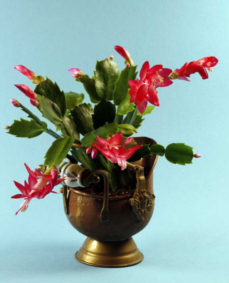 10 Facts About Christmas Cacti  Networx