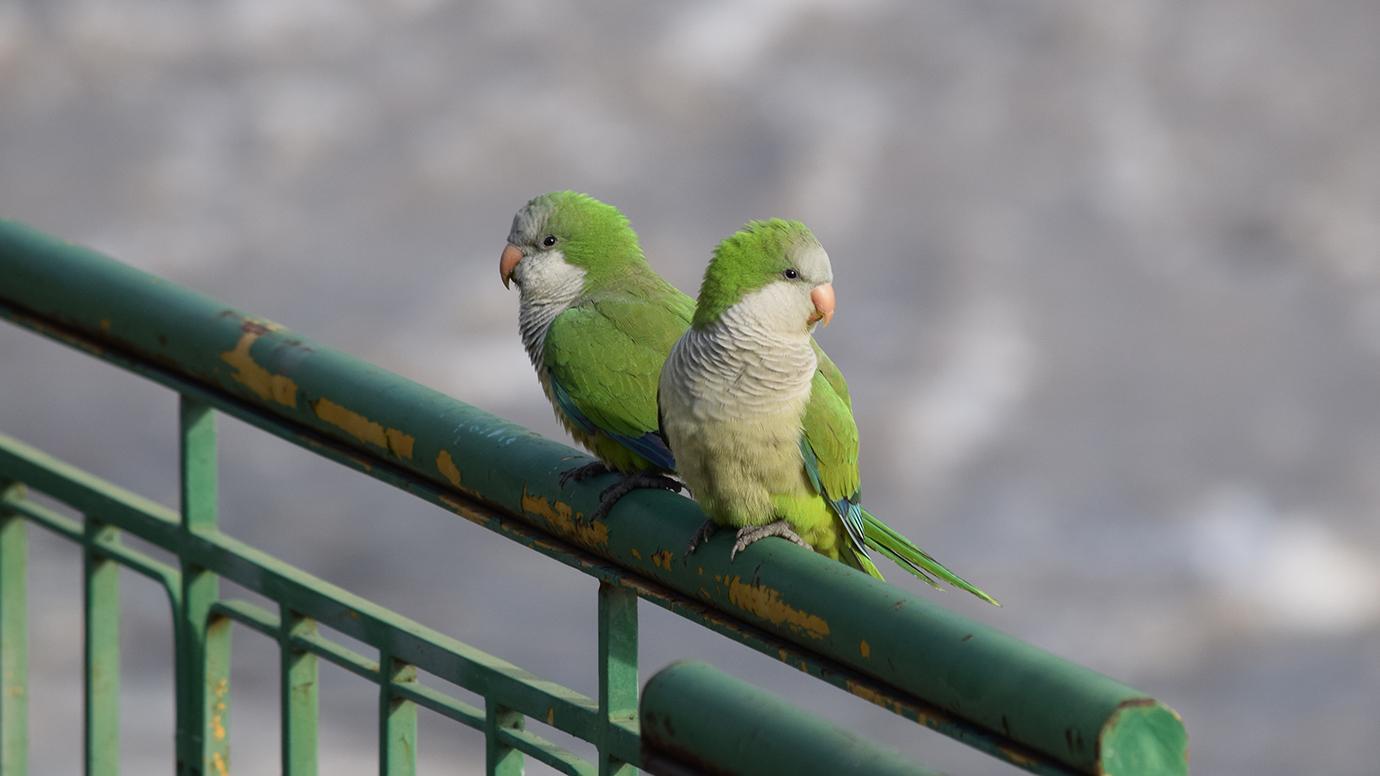 escaped pet parrots are