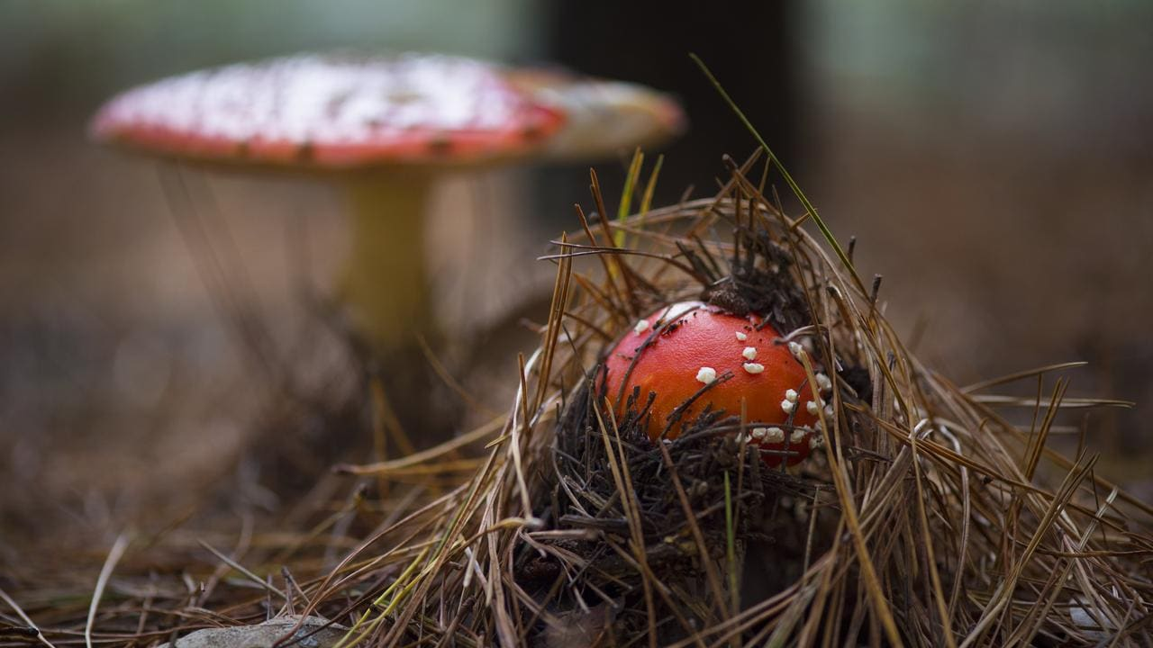 toadstools that look like they re out of a fairy garden in a pine forest [ 1280 x 720 Pixel ]