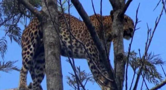 Leopard dies after being rescued in Maskeliya