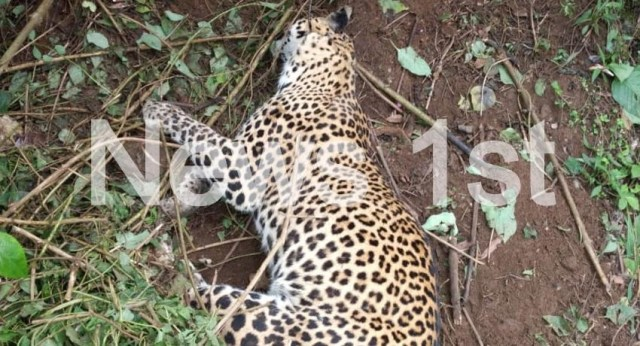 (VIDEO) Two leopards trapped in a snare in Pussellawa; one dead and other injured