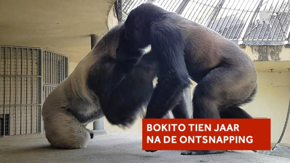 hoe gaat het nu met gorilla bokito