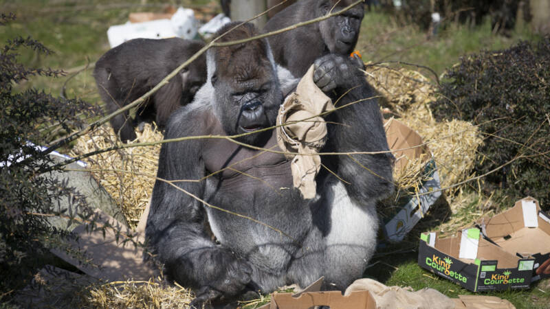 https jeugdjournaal nl artikel 2372614 wereldberoemde gorilla bokito is jarig html