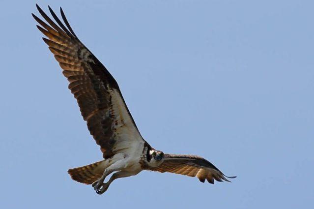 Aves de rapina, exemplo de águia-pesqueira