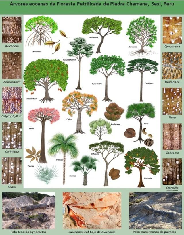 A chave da árvore de Sexi, Peru, com seções transversais da madeira. Fonte: Mariah Slovacek / Serviço de Parques Nacionais, CC BY-ND.