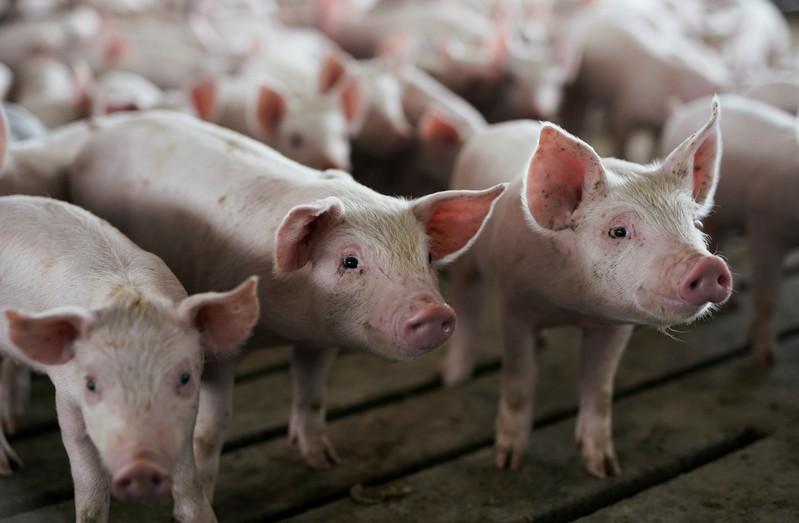 """O """"pré-sal caipira"""": a energia que vem dos porcos - Notícias Agrícolas"""