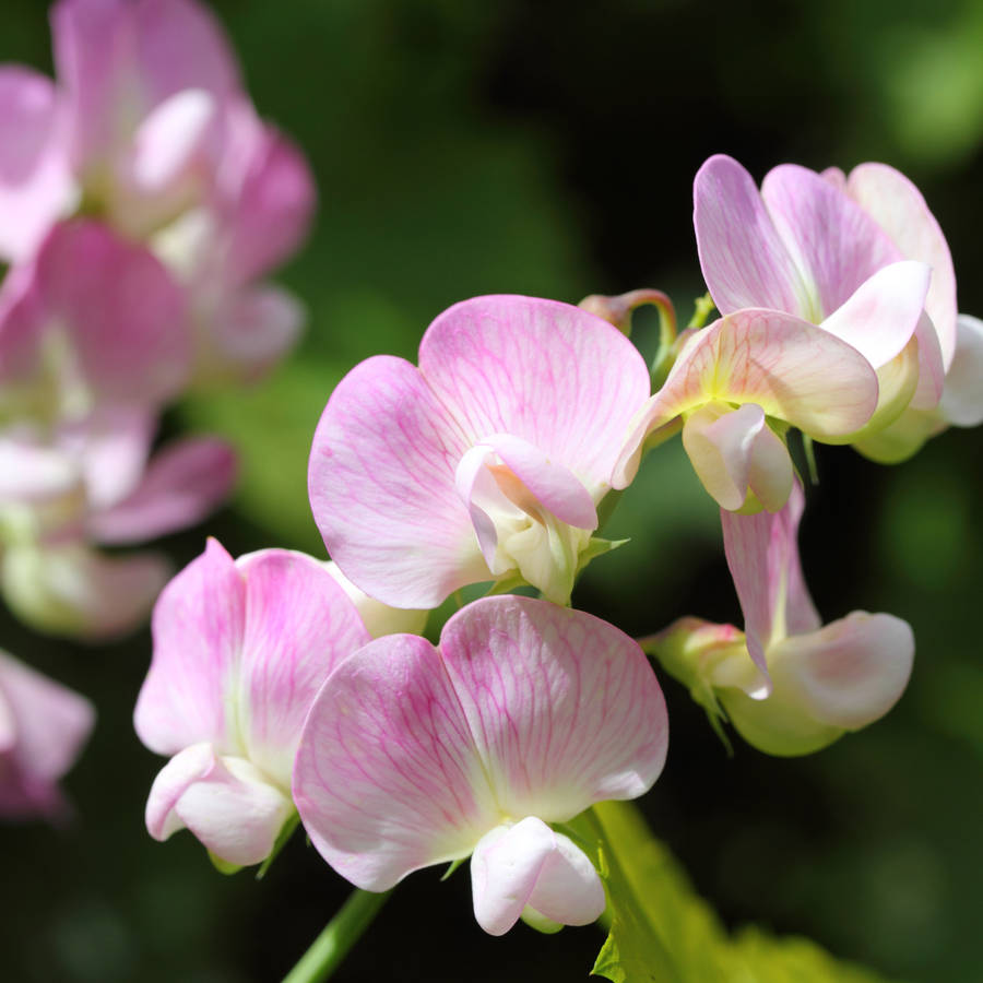 grow your own cupid sweet pea plant kit by plants from