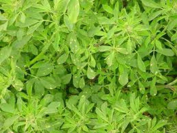 Alfalfa(1)
