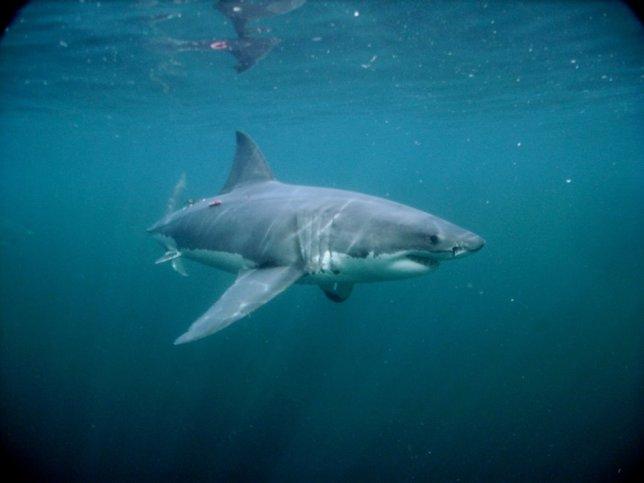 mi a cápák látványa)