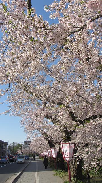 【櫻花百選】【青森。弘前│遊】弘前城,粉紅花瓣河&櫻花隧道 | Tokyo Creative