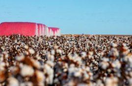 algodão rosa abapa