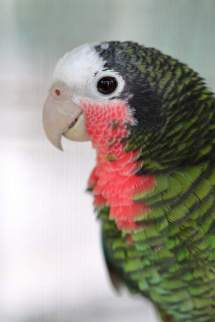Cuban Amazon Parrots Breed Information Omlet