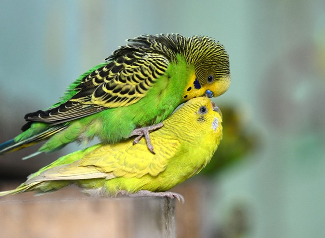 Image result for mating of parakeets