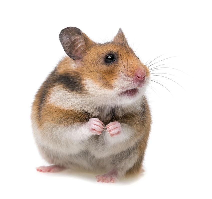 hamster health care hamsters