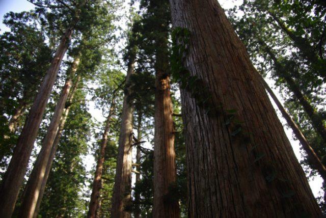 5. Roosevelt Ancient Cedars Loop