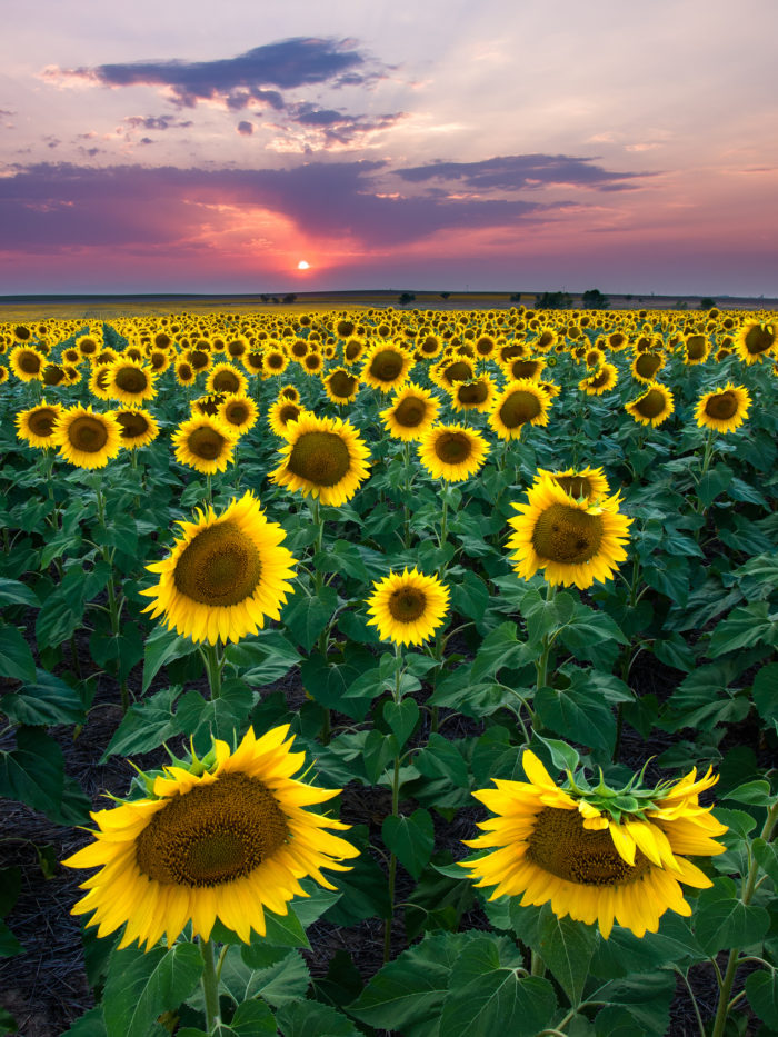 Rose Flower Garden Hd Wallpaper Most People Don T Know About This Magical Sunflower Field