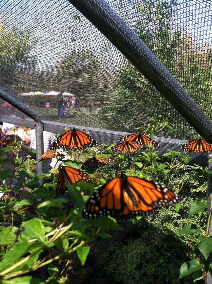 AllAFlutter Butterfly Farms Raises Butterflies Each Year