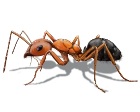 What Are Pavement Ants