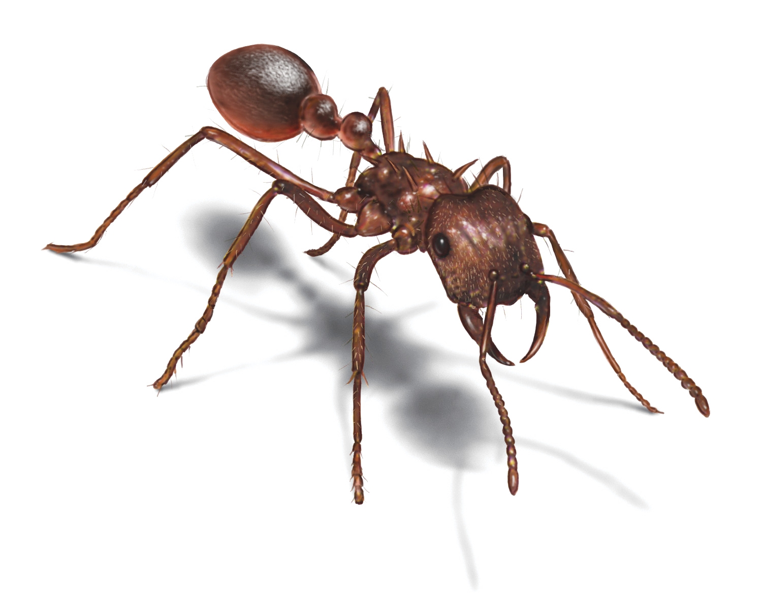 leafcutter ant picture