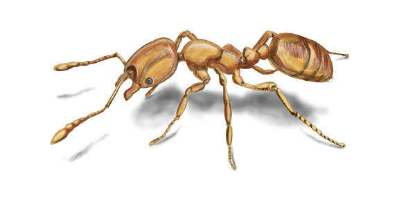 Carpenter Ant Adult