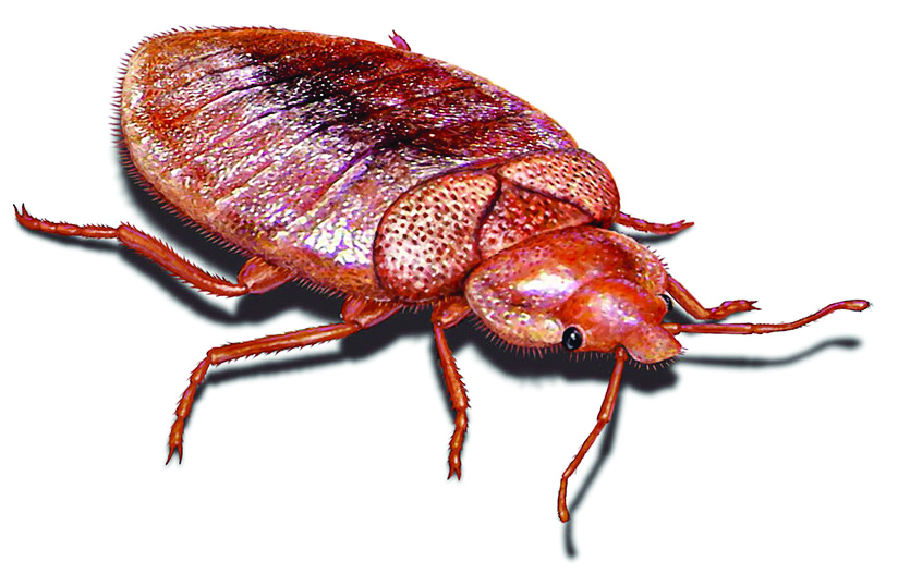 What Do Bedbug Bites Look Like  What Do Bed Bugs Look Like