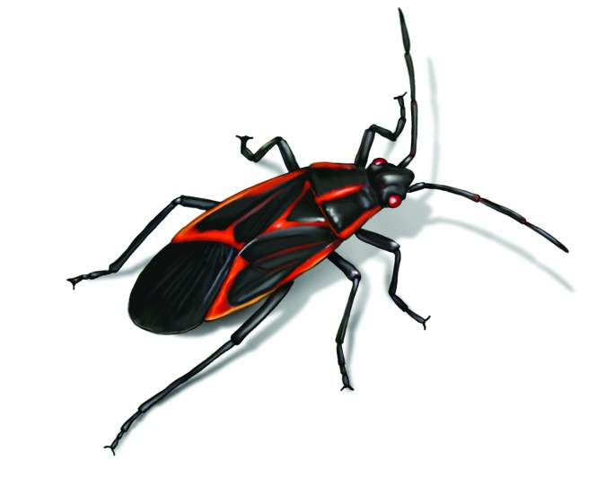 Box Elder Bug Ilration