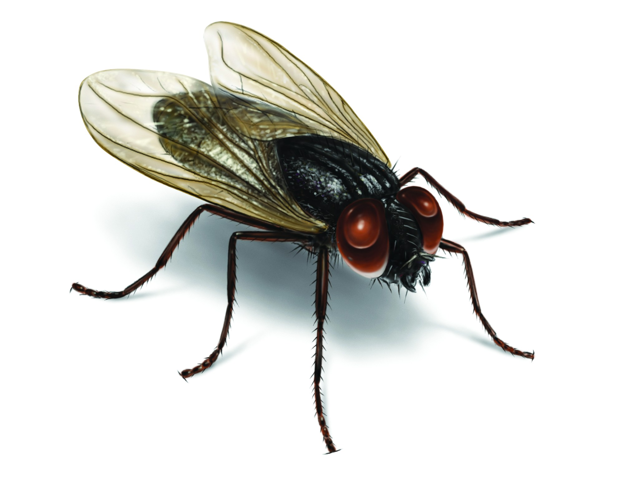 hight resolution of illustration of a house fly