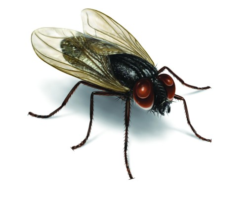 small resolution of illustration of a house fly