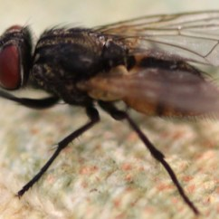 House Fly Anatomy Diagram 3 Phase Roller Door Wiring Facts Information On Biology Of Flies Single