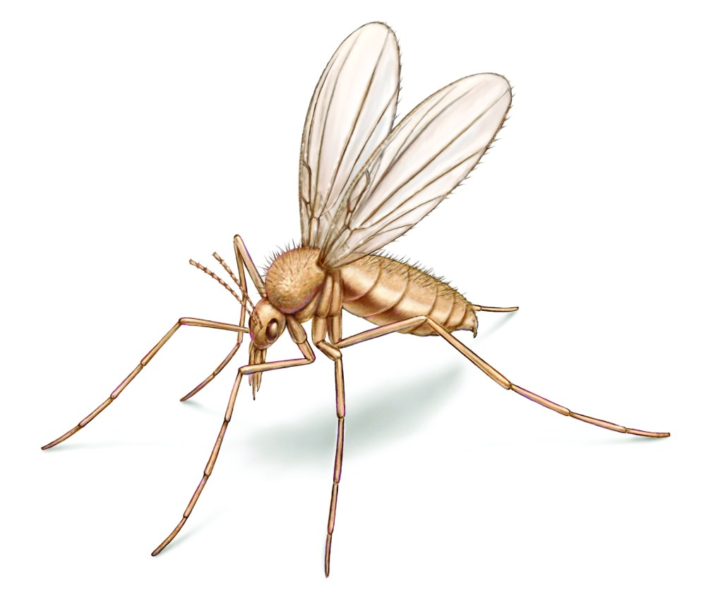 medium resolution of sand flies