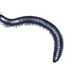 millipede illustration [ 1500 x 1200 Pixel ]