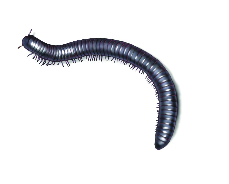 hight resolution of millipede illustration