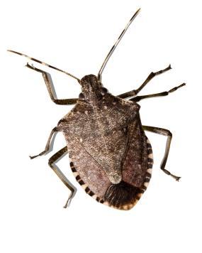 Hard diamond shaped bug
