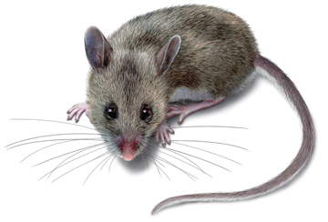 Deer Mouse Droppings & Hantavirus Disease
