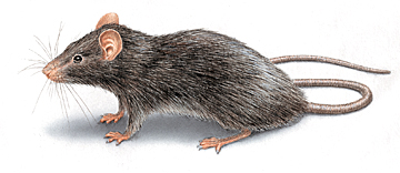 How to Get Rid of Roof Rats in the Attic: Infestation Control