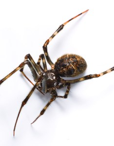 House spiders also common spider identification  removal rh orkin