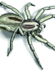 Wolf spider illustration also infestation how to get rid of spiders rh orkin