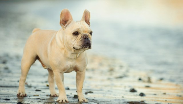 french bulldog - all about dogs