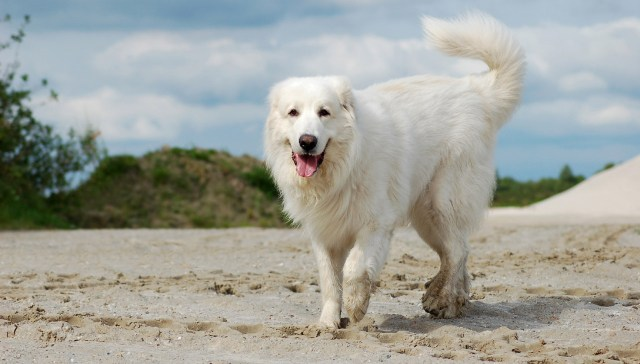 Colored Great Pyrenees