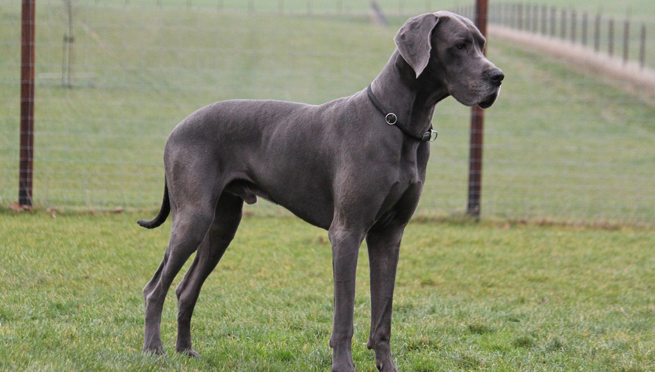 great dane all about