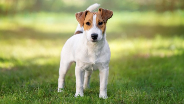 Parson Russell Terrier - All About Dogs